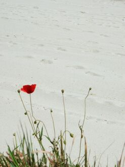 Poppy on the Beach